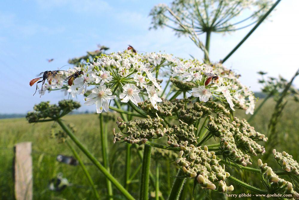 Schlupfwespen auf weißen Blüten